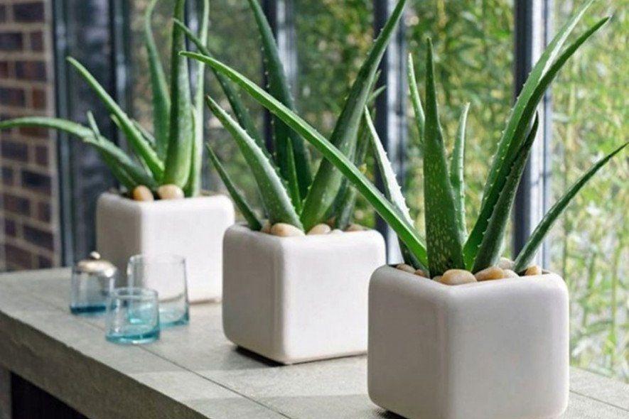Комнатные растения выделяющие больше всего кислорода