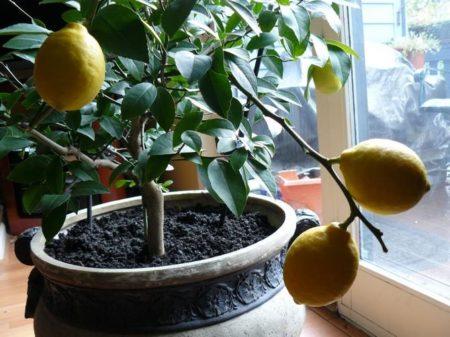 Растение лимон